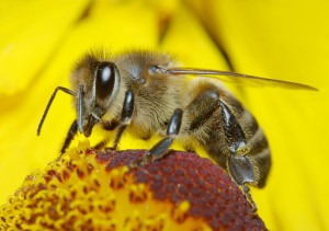 Many Causes For Bee Disappearance – EU Bans Neonicotinoids